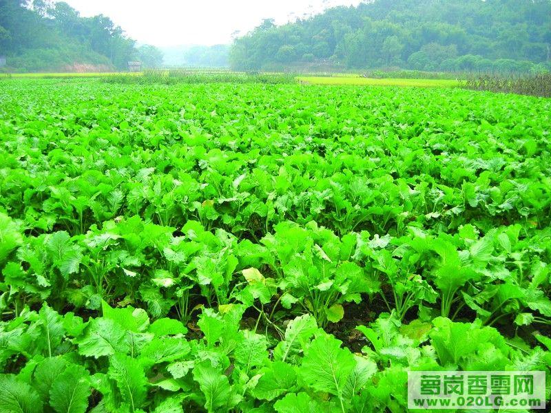 标志 增城 碧桂园/增城迟菜心成为国家地理标志保护产品[复制链接]